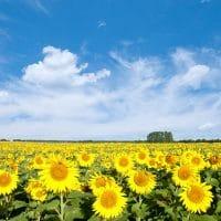 sunflower field against blue sky