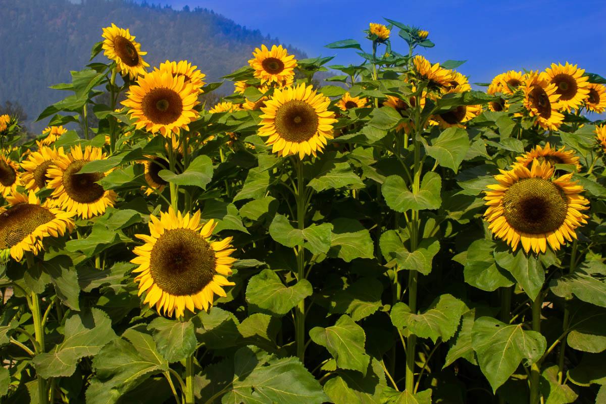 sunflower fields in minnesota