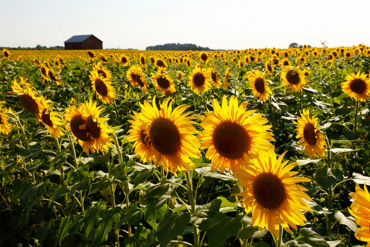 sunflower fields in ohio