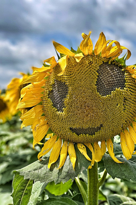 sunflower head that looks like a face
