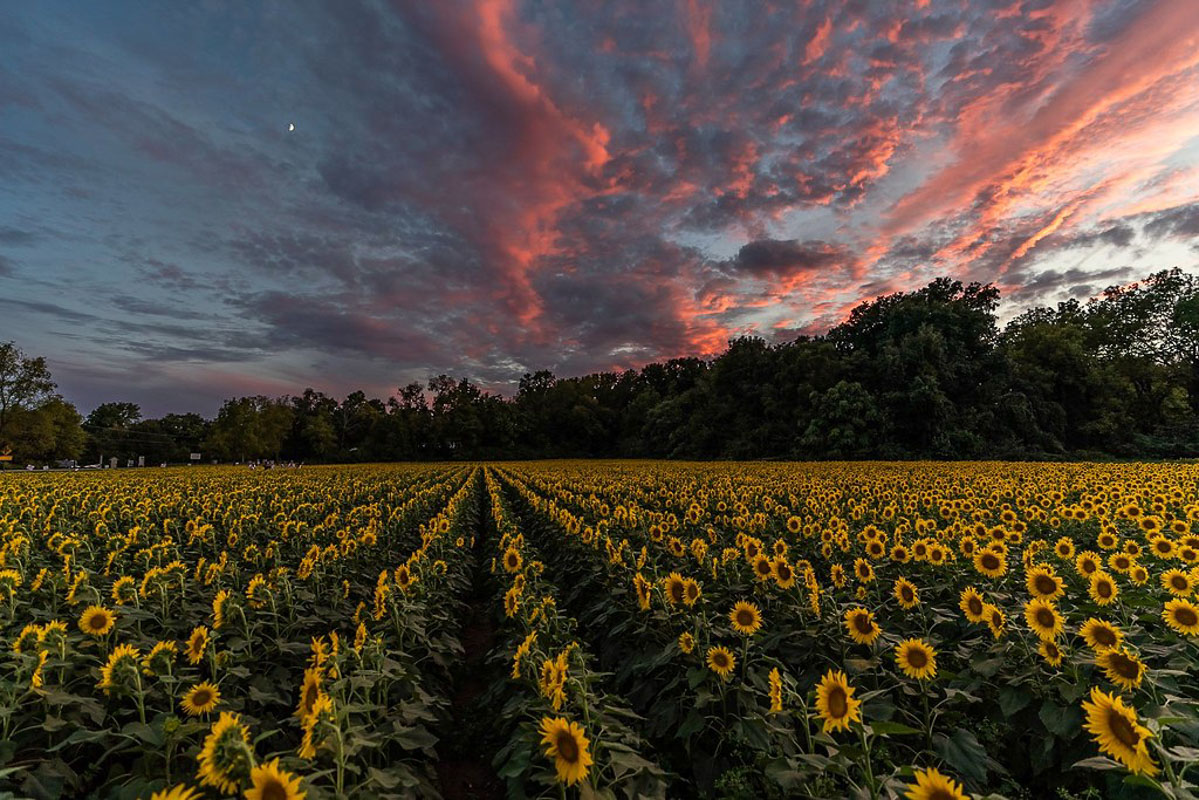 tecumseh sunflowers in ohio