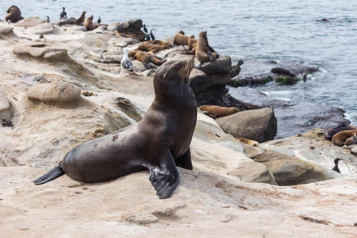 sea lion at la jolla cove san diego