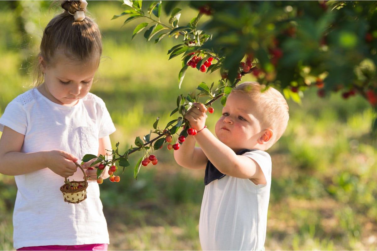 2 kids picking cherries