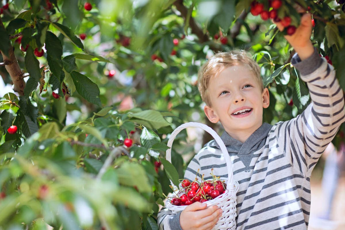 boy picks cherries while carrying a basket of cherries