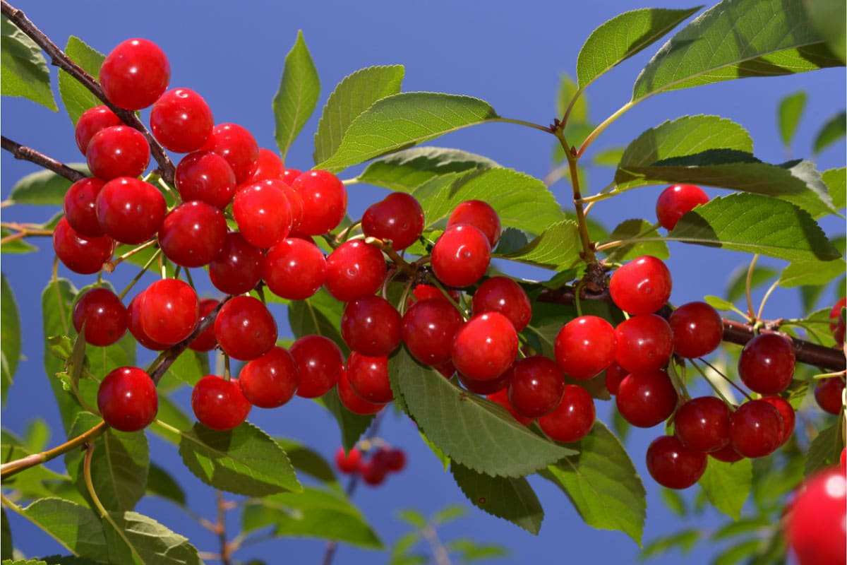 cherries on a tree with a blue sky