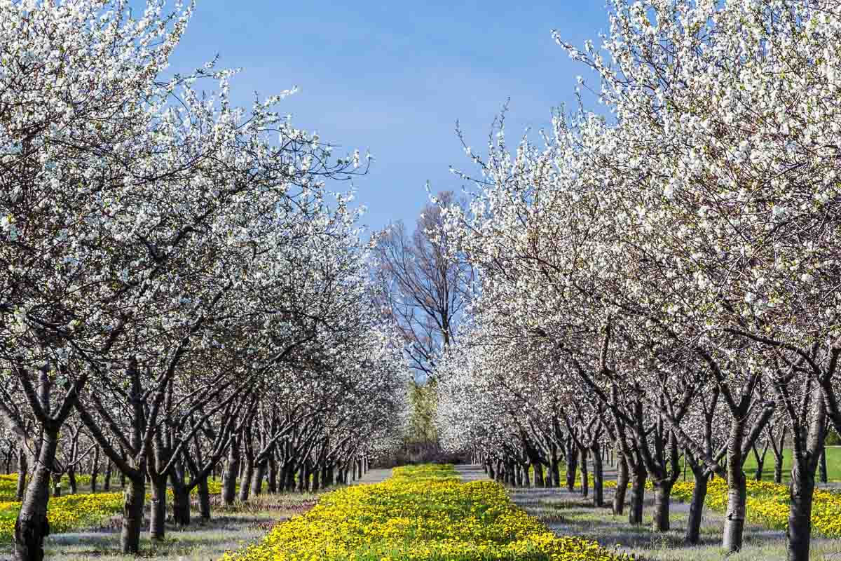 cherry blossom trees in michigan