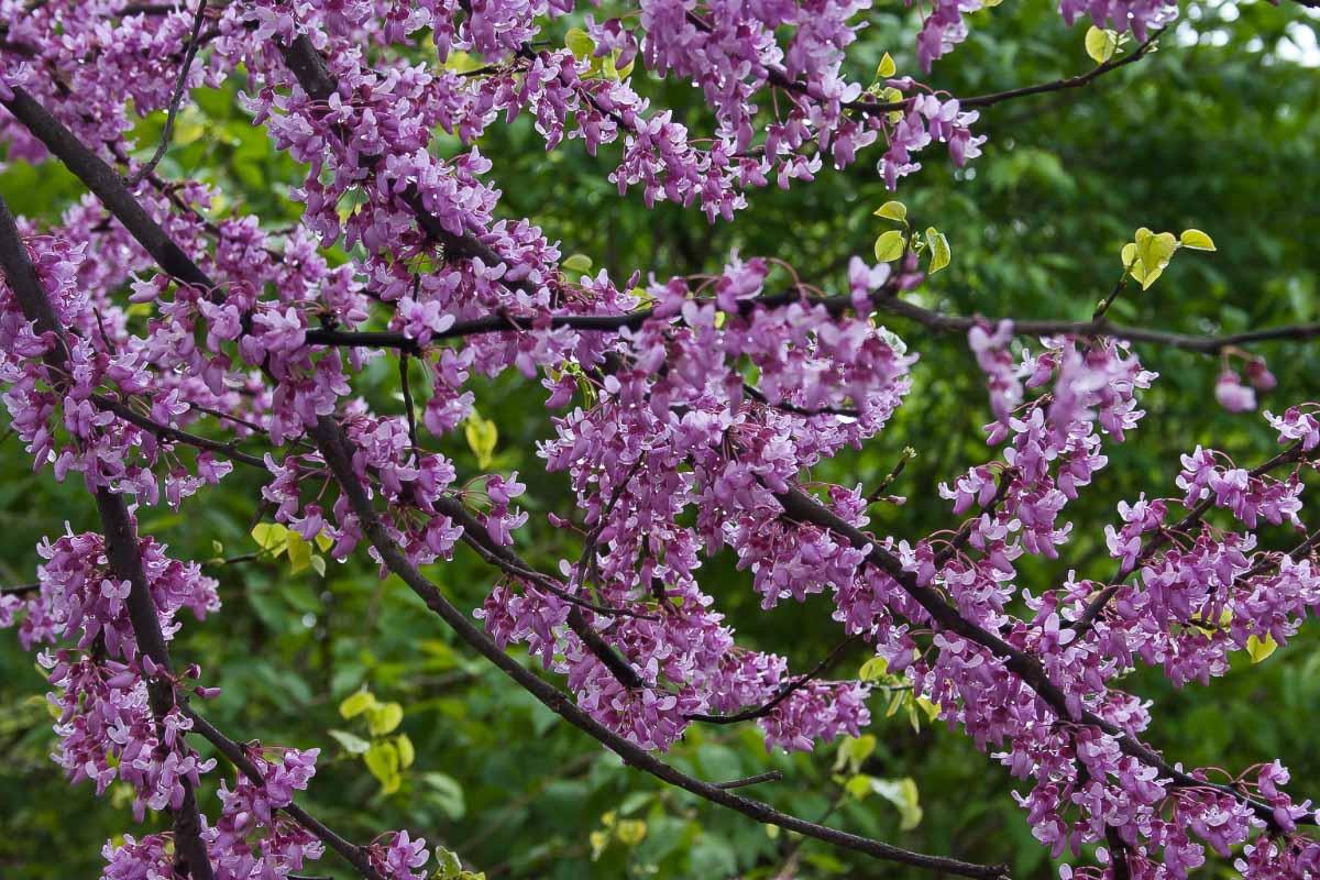 cherry blossoms in michigan