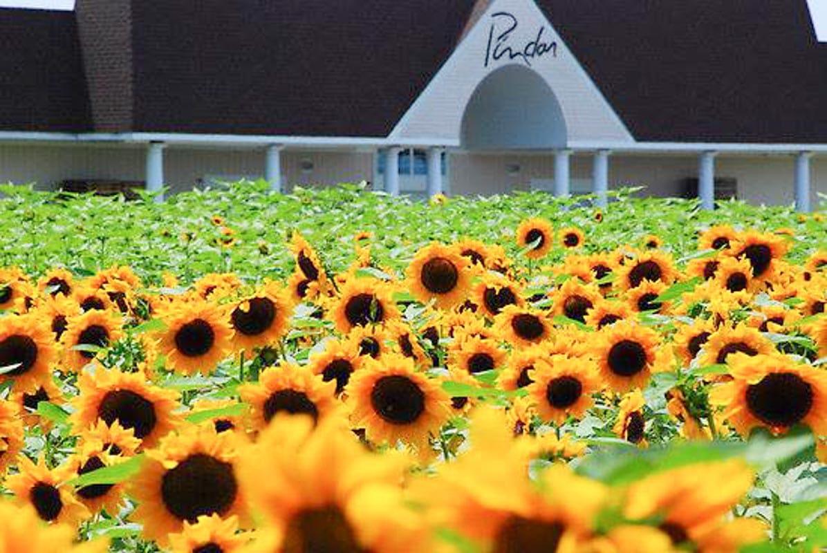 Pindar sunflowers
