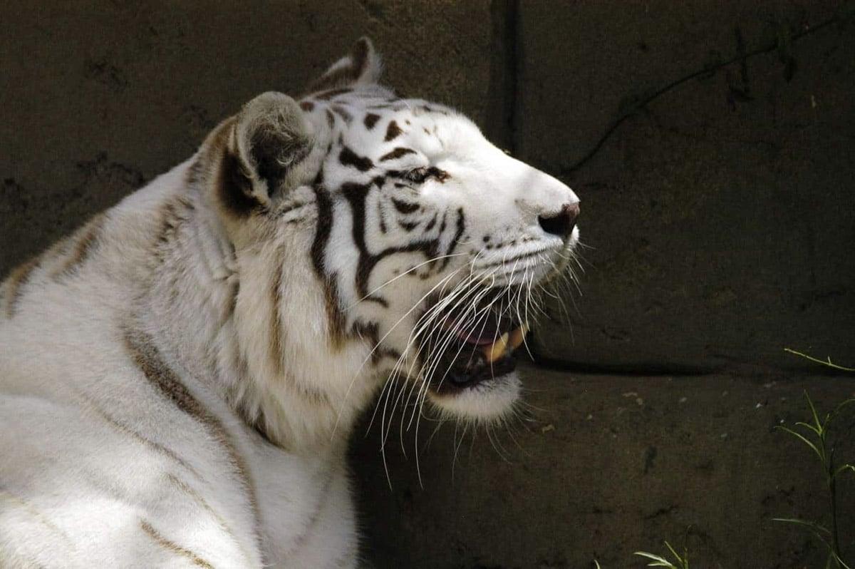 White tiger at Rancho Texas lanzarote