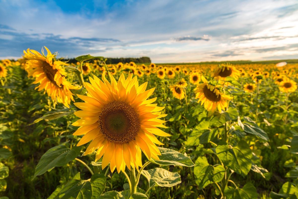 Eckerts Farm sunflower fields in illinois