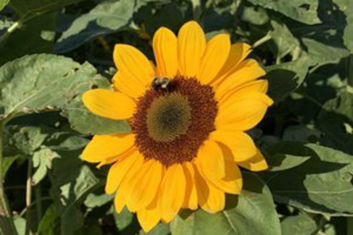 harbes sunflowers