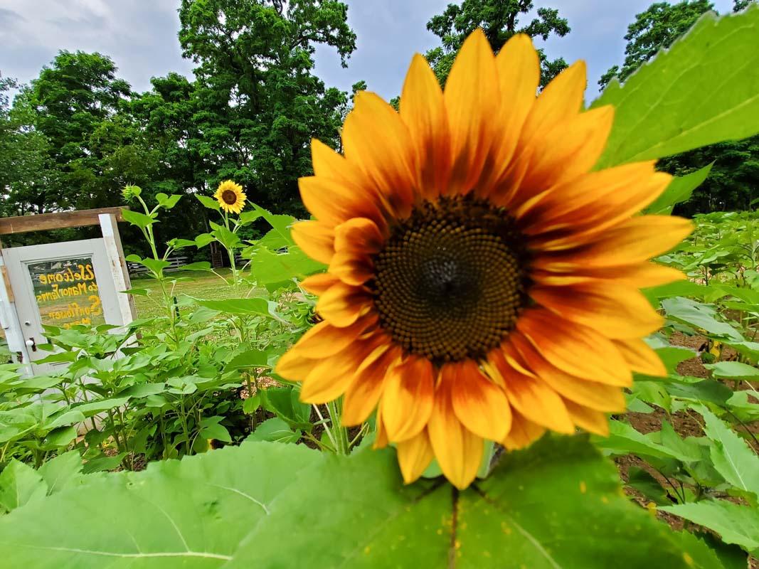 manor farm sunflower fields in long island