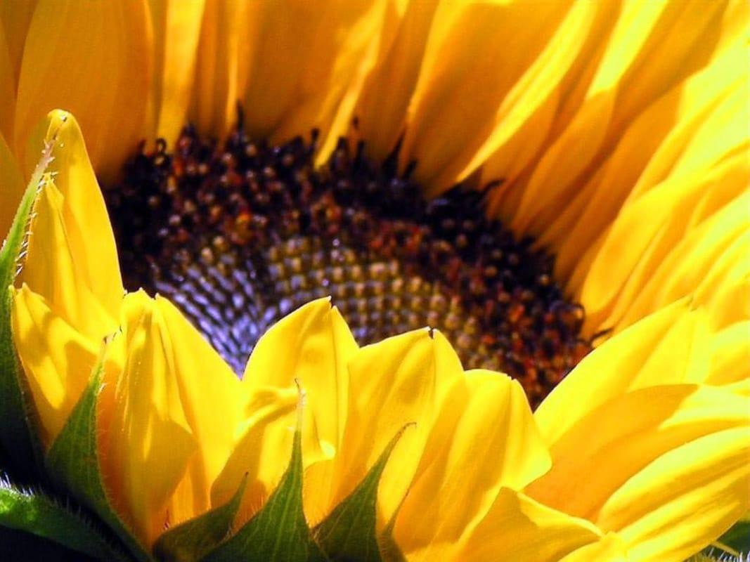 pindar sunflowers 2.