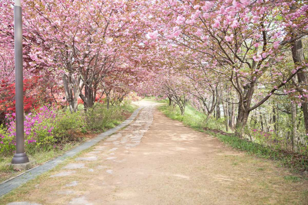 Cherry-Blossoms-at-Jeonju-Wansan-Park