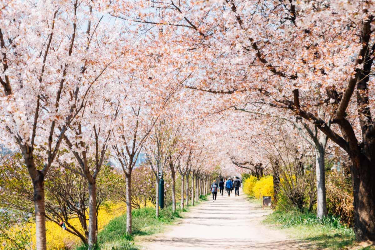 Dongchon riverside park Cherry blossoms in korea festival in Daegu