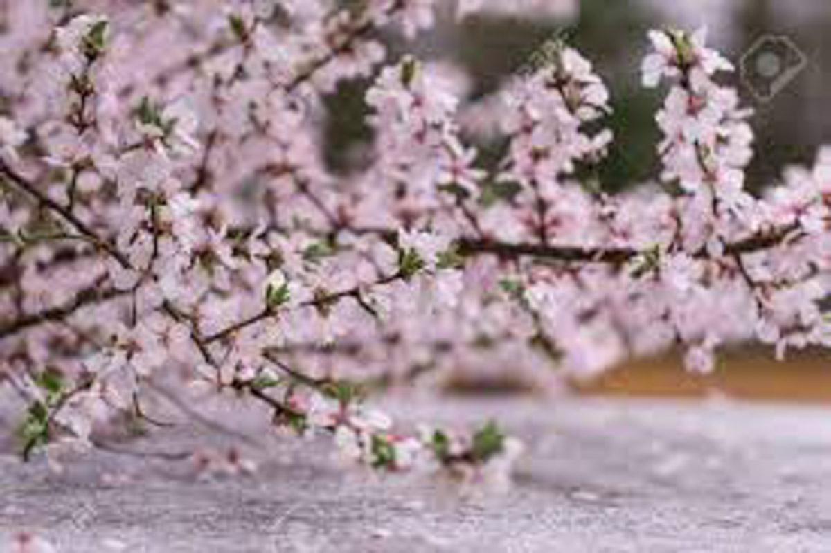 Gangneung korea cherry blossom