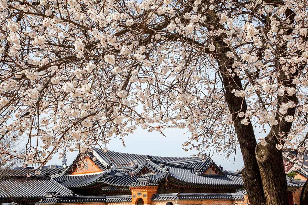 Gurye-gun cherry blossom