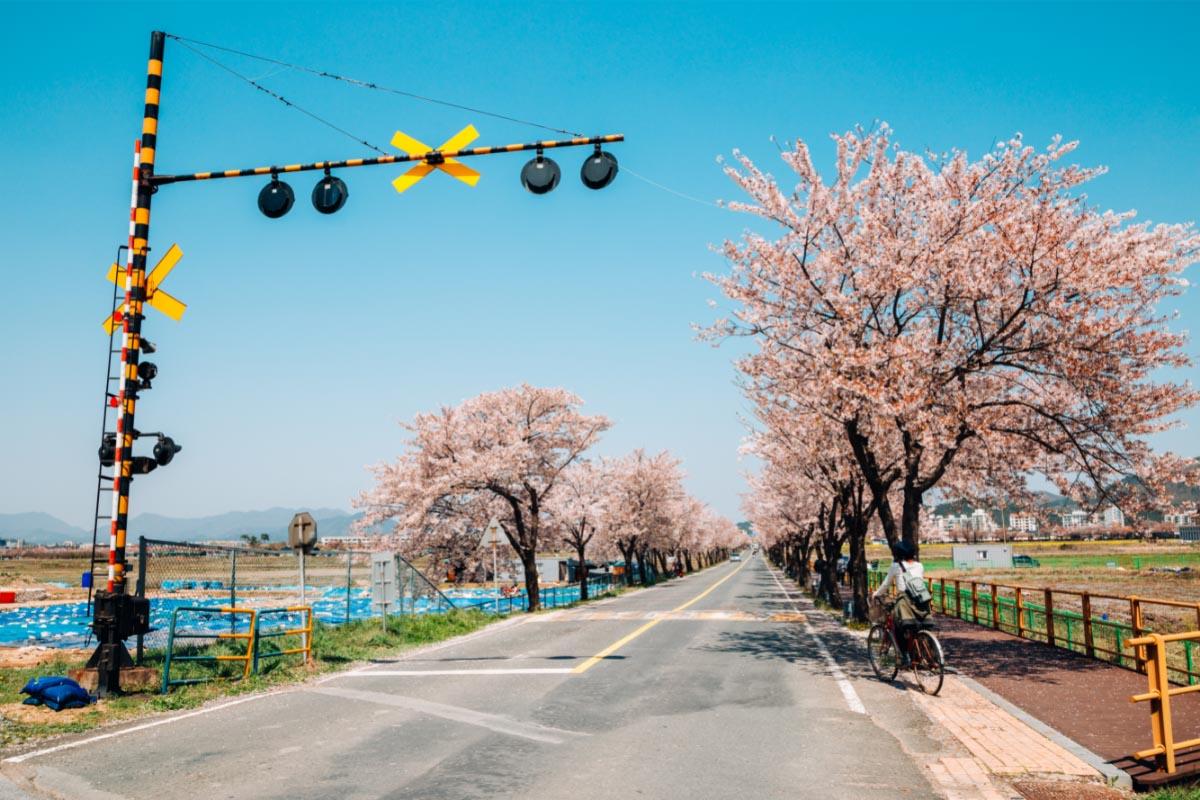 Gyeongju cherry blossoms