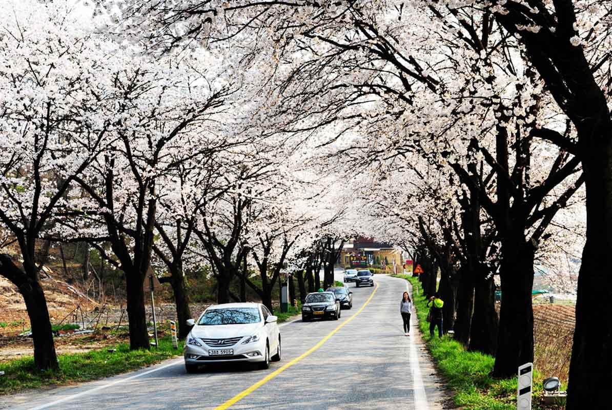 Jecheon Cherry Blossoms Korea