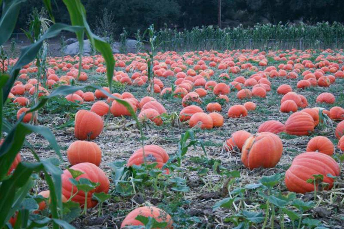 bates nut pumpkin farm