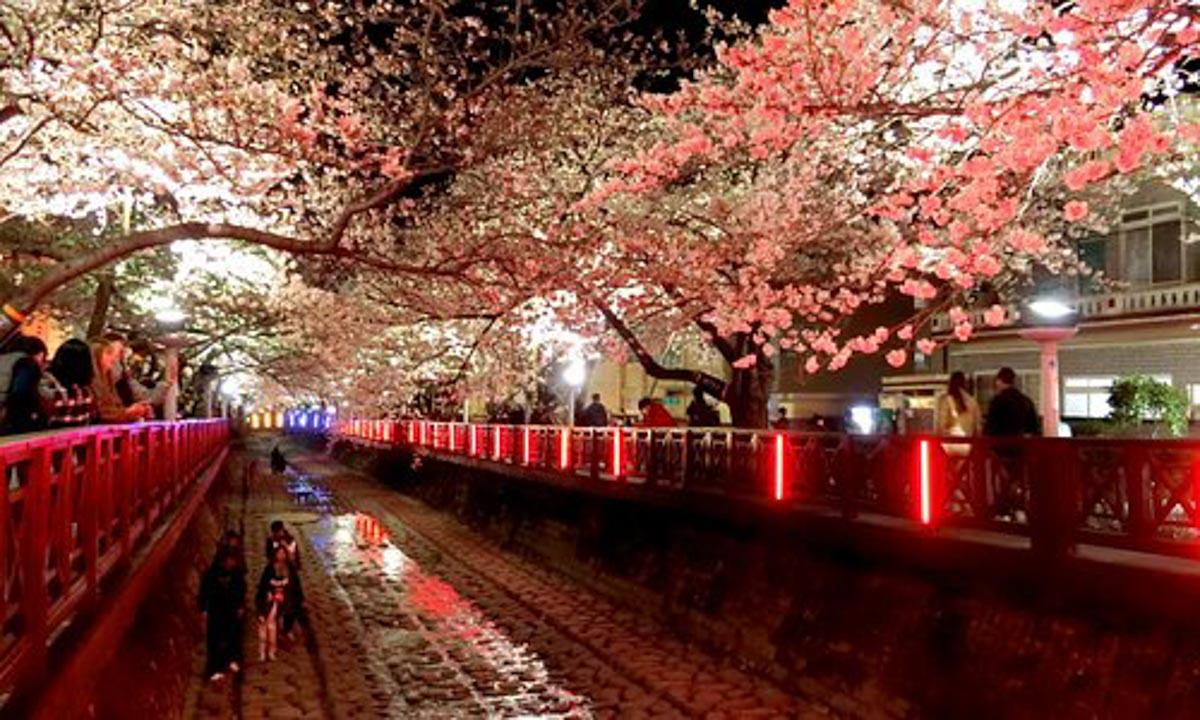 changwon cherry blossom korea