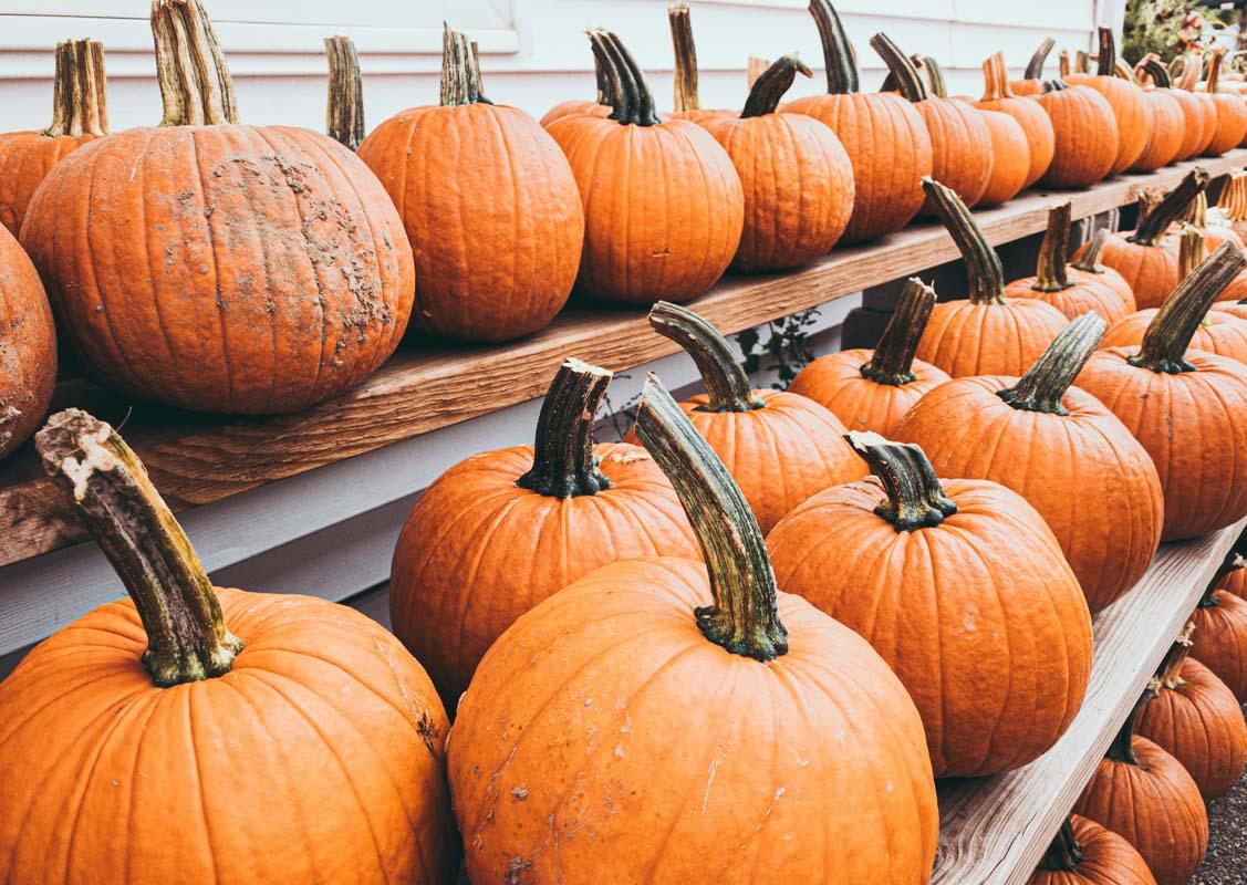 halter pumpkin patch houston