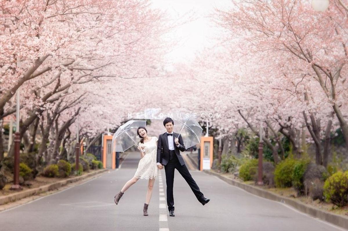 jeju cherry blossom