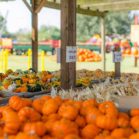 old time christmas tree farm pumpkin patches in houston