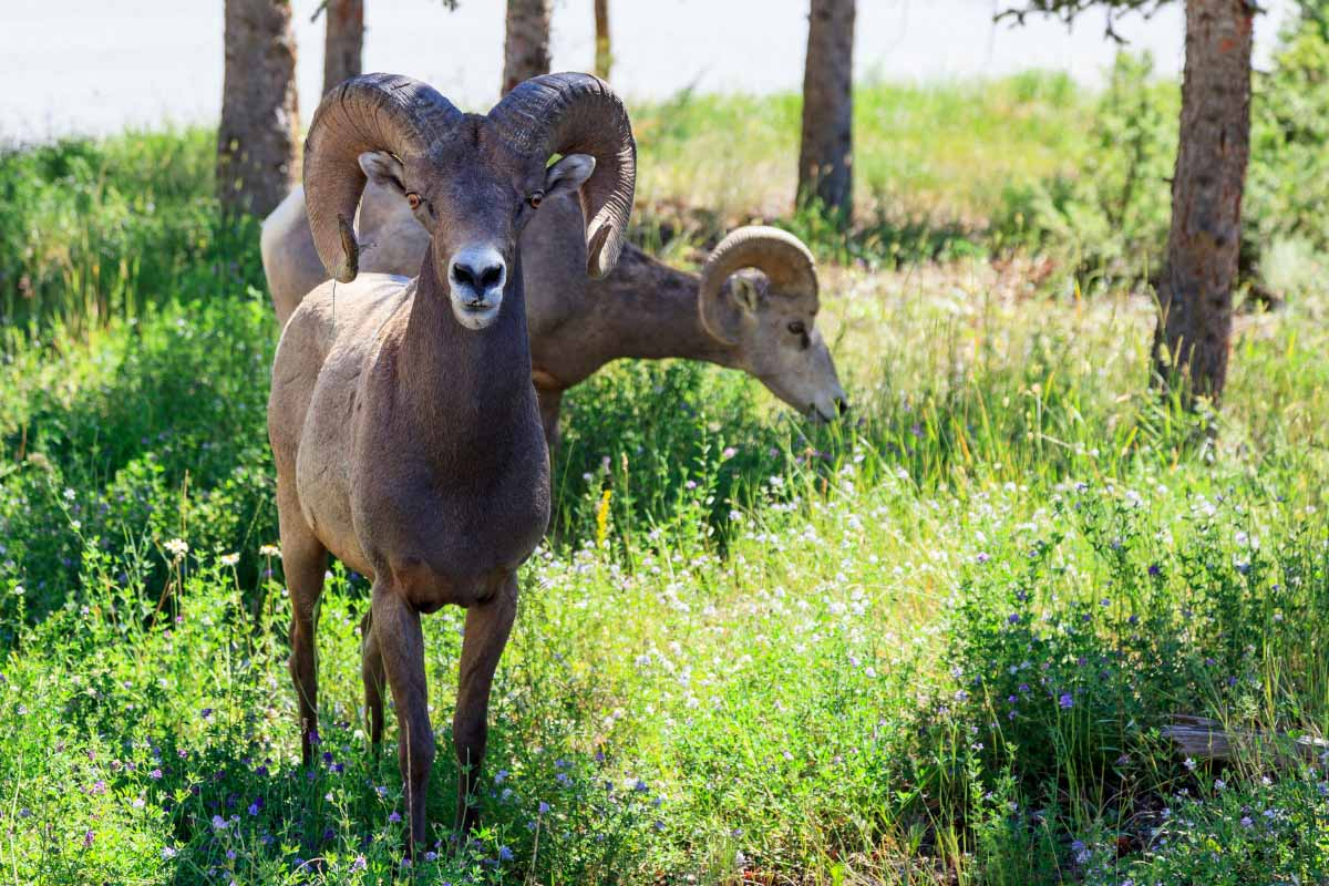 big horns in radium springs colorado