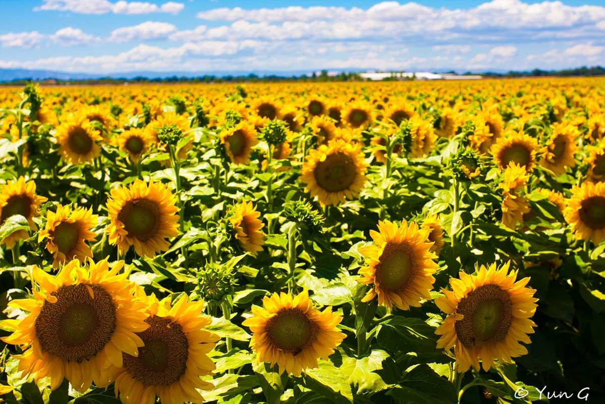 dixon california sunflower field