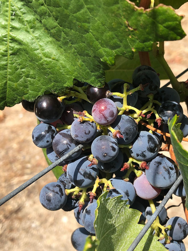 douro valley sandman grapes