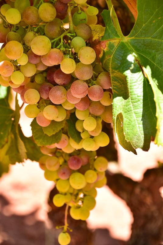 morgado do quintao algarve portugal grapes 1