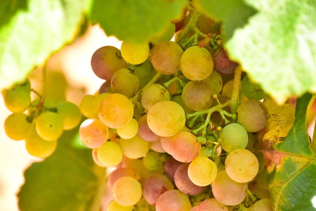 morgado do quintao algarve portugal grapes 2
