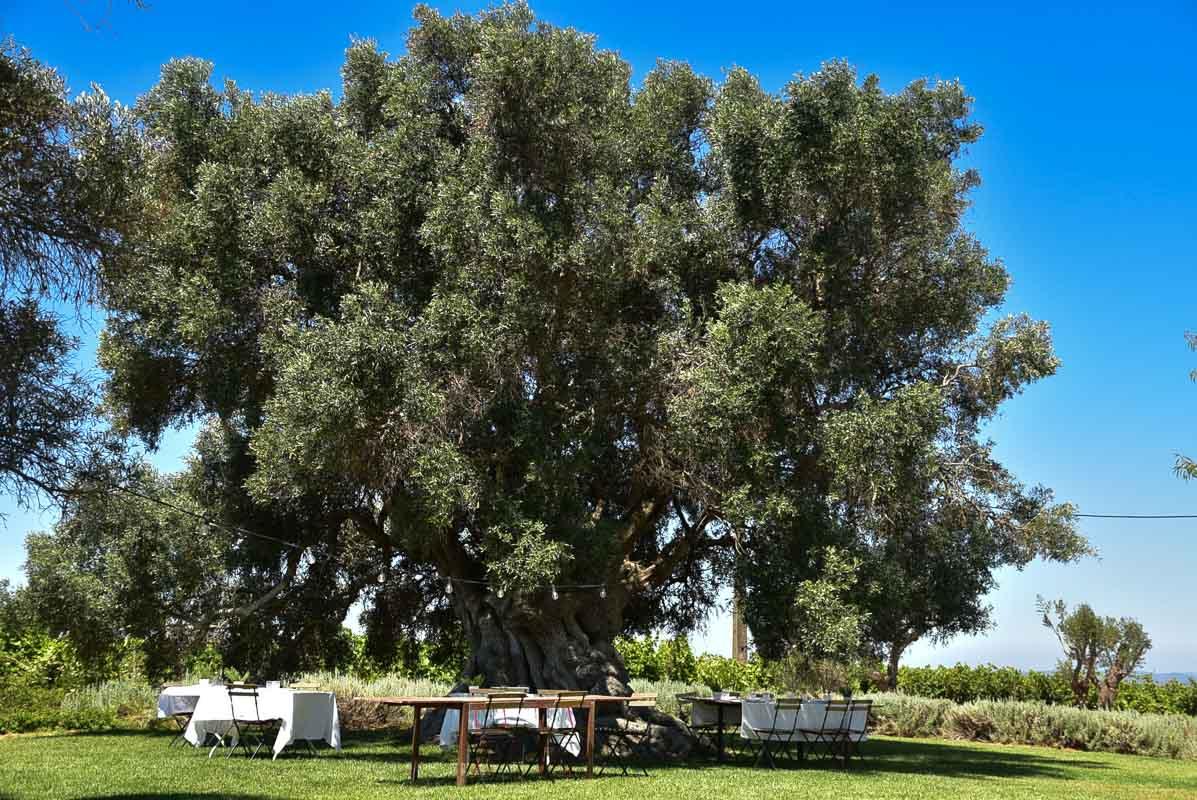 morgado do quintao algarve portugal olive tree