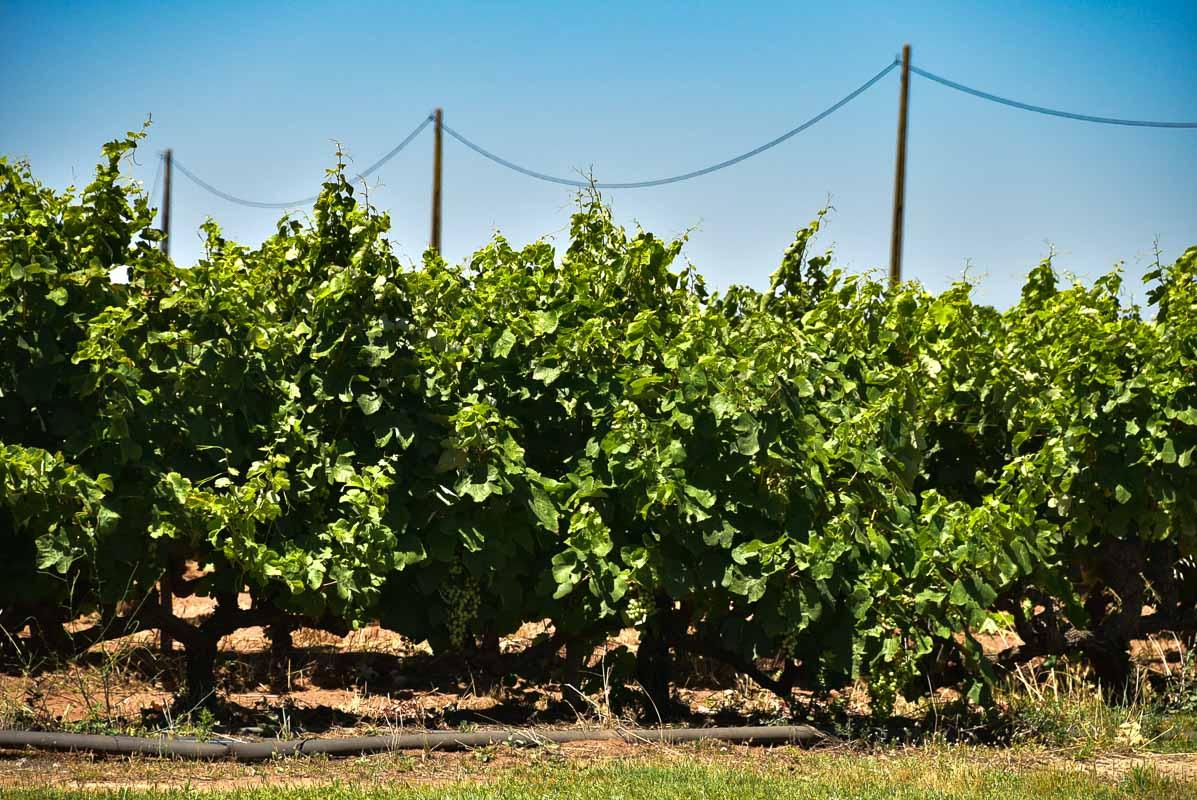 morgado do quintao algarve portugal vineyards