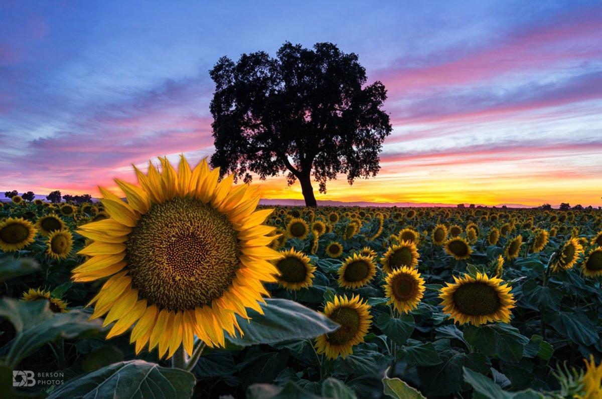 sunflower fields in california 2