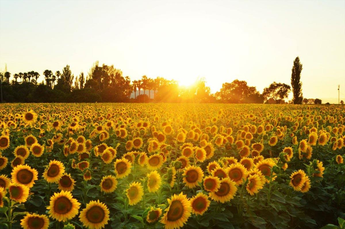 sunflowers near winters